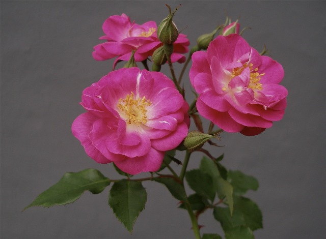 cottage-rose-640x470.jpg