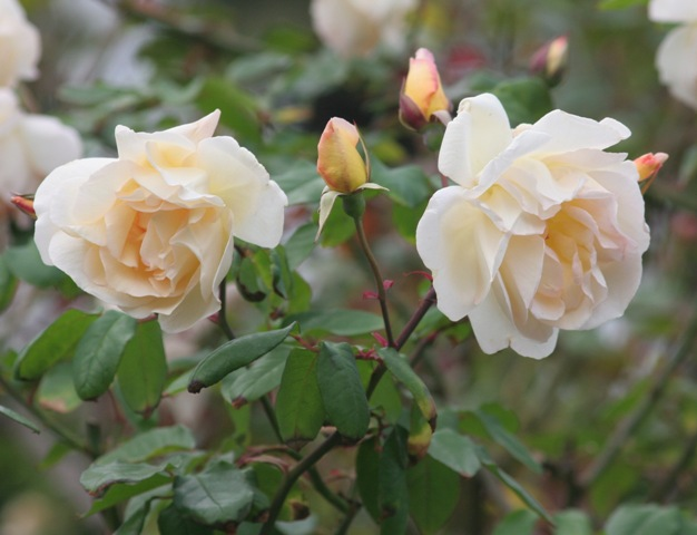pricillas-rose-626x480.jpg