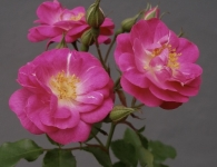 thumbs cottage rose 640x470 Bermuda Mystery Roses