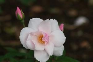 img 3935 300x200 Bermuda: A living museum of roses